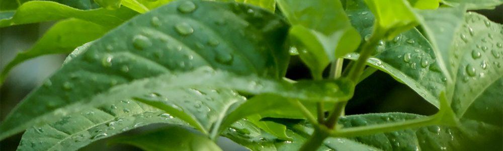 Hojas verdes con rocío